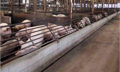 豚コレラ・人間が食べたら感染する